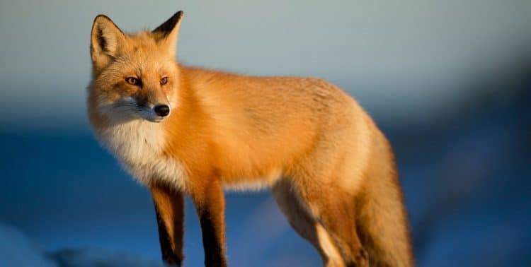 Do foxes dig up lawns?
