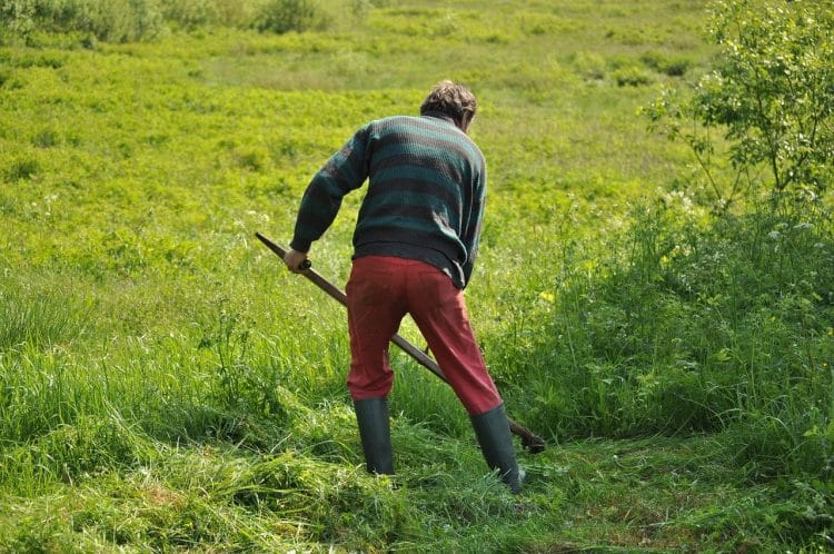 Cutting grass with a sythe
