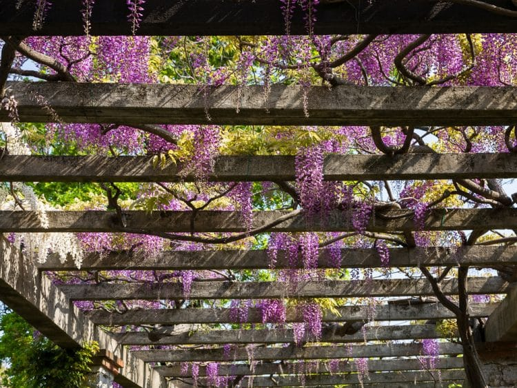 Pergola with wisteria which can harm cats