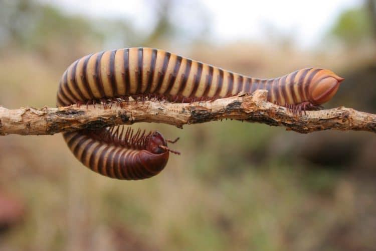 Are Centipedes & Millipedes Garden Pests?