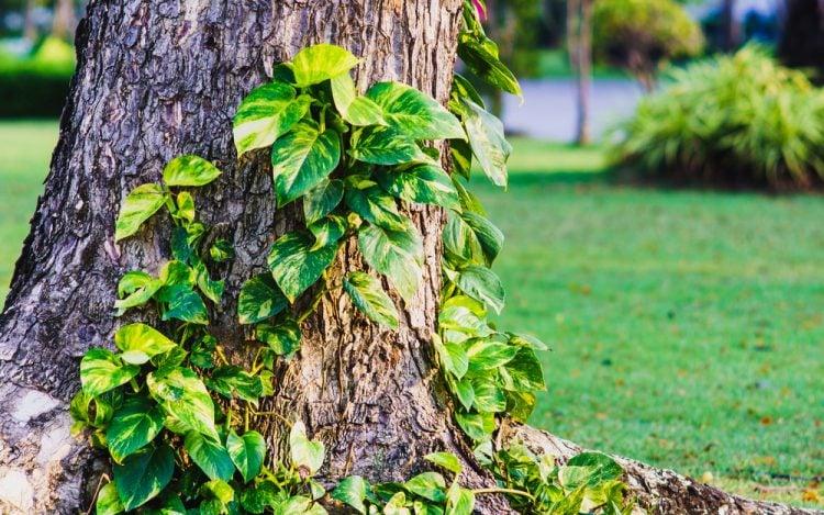 Do climbing vines kill trees?