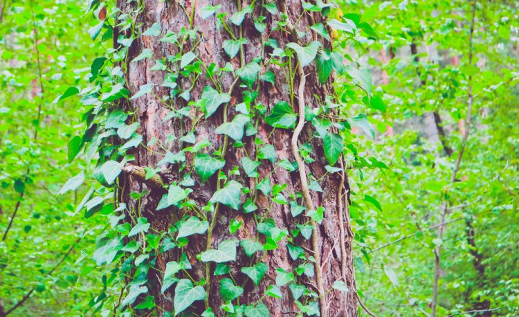 Climbing ivy on a tree