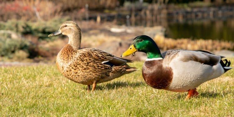Will Chlorine Kill Ducks?