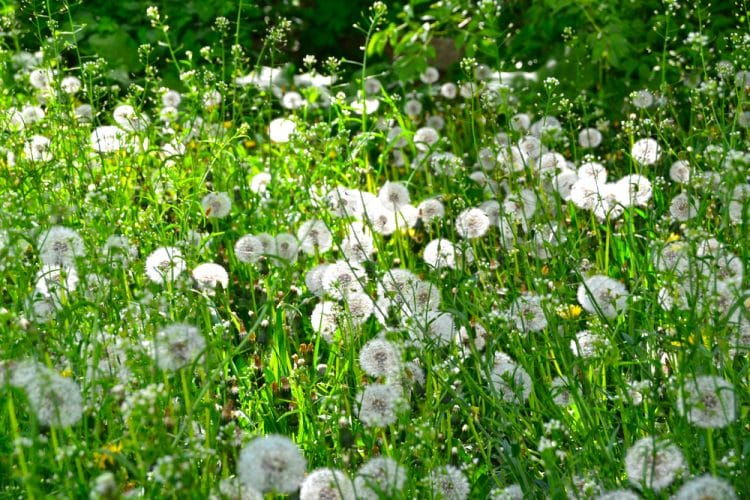 Letting lawn go to seed
