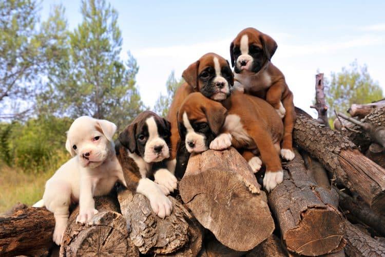 Backyard puppy breeders