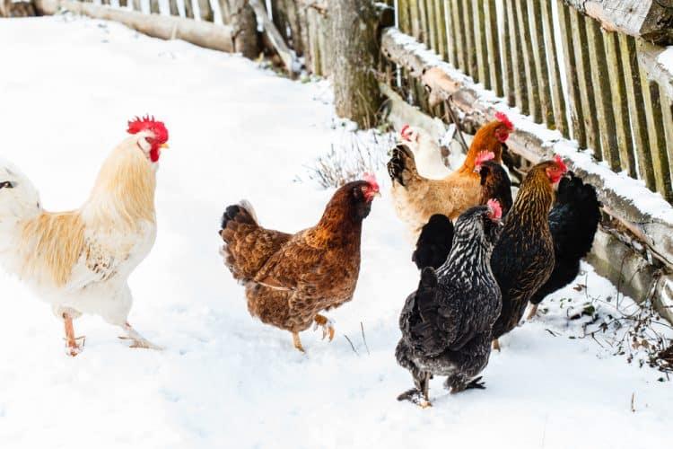 Backyard chickens in winter