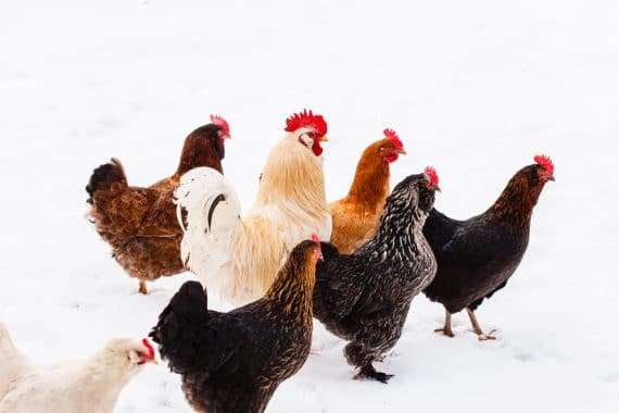 Can Backyard Chickens Survive Winter?