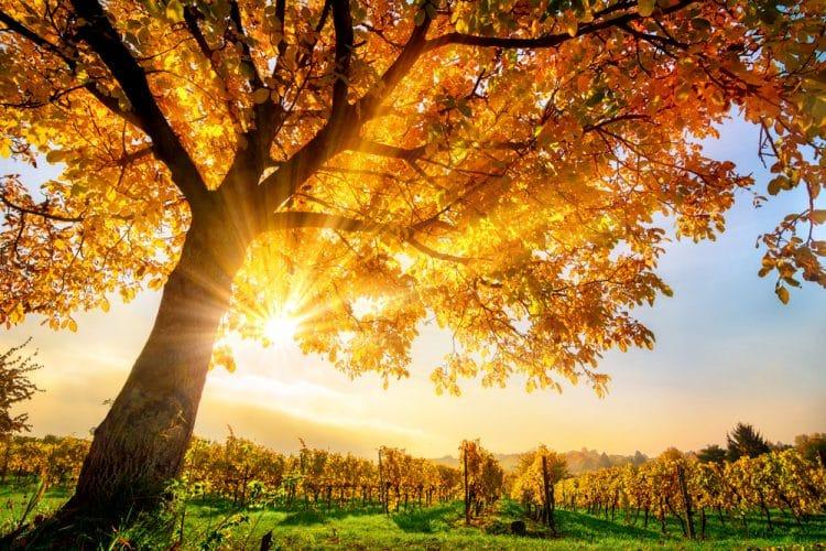 Autumn tree and sunshine